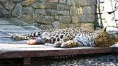 De slapende leopard en stuk vlees in de buurt van het — Stockfoto