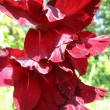 Stock Photo: Beautiful flower of claret gladiolus