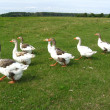 Stock Photo: Flight of white geese on a meadow