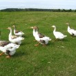 Stock Photo: Flight of white geese on meadow