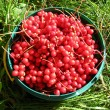 Stock Photo: Harvest of red schizandrin bucket