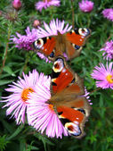 Butterflies of peacock eye sitting on the aster — Stock Photo