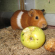 Little beautiful brown guinea-pig with apple - Zdjęcie stockowe