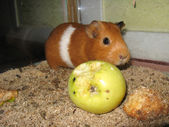 Little beautiful brown guinea-pig with apple — Stock Photo