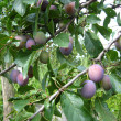 Fruits of plum on the tree — Stock Photo