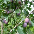 Stock Photo: Fruits of plum on the tree
