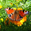 The graceful butterfly of peacock eye on the tagetes — Stock Photo