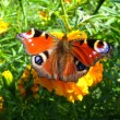 Stock Photo: The graceful butterfly of peacock eye on the tagetes