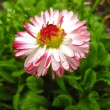Beautiful pink flower of a daisy — Stock Photo #18157225