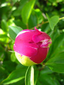 Not dismissed bud of a peony — Stock Photo