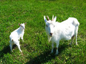 Goat and kid on a pasture — Stock Photo