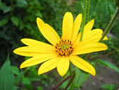 Nice yellow flower of chamomile — Stock Photo