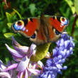 Stock Photo: Butterfly of peacock eye sitting on flower