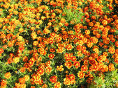 A beautiful bed of flowers of tagetes — Stock Photo