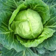 Stock Photo: Big head of green cabbage