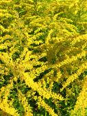 Quelques belles fleurs jaunes — Photo