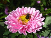 A little bee on the pink beautiful aster — Stock Photo