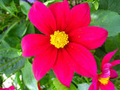 Vacker blomma i röd dahlia — Stockfoto