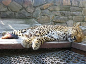 The sleeping leopard and piece of meat near it — Stock Photo