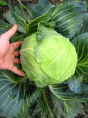 The hand and big head of ripe and green cabbage — Stock Photo