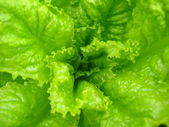 Green leaves of useful lettuce — Stock Photo