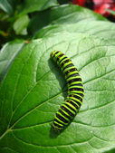 Caterpillar of the butterfly machaon on the leaf — Stock Photo