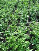 Kuchyňské zahradě vystoupil brambor — Stock fotografie