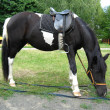 Black and white pony with a saddle — Stock Photo