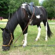 Stock Photo: Black and white pony with a saddle