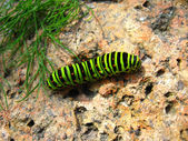 Caterpillar of the butterfly machaon on the stone — Stock Photo