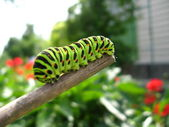Caterpillar of the butterfly machaon on the stick — Stock Photo