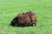 Sheep grazing on a grass — Stock Photo
