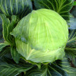 Big head of green cabbage — Stock Photo #25954925