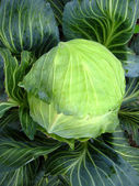 Big head of green cabbage — Stock Photo