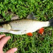 Beautiful caught fish chub and a hand — Stock Photo