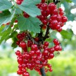 Stock Photo: Berry of red currant on bush