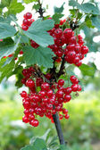 Berry of a red currant on the bush — Stock Photo