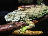 Green big iguana in zoo — Stock Photo
