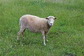 Grijze schapen grazen op een gras — Stockfoto