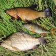 Caught fishes tench, perch and crucian — Stock Photo