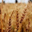 Spikelets of the wheat — Stock Photo