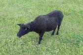Black sheep grazing on a grass — Stock Photo
