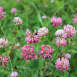 Stock Photo: Pink flowers of clover