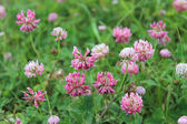 Pink flowers of clover — Stock Photo