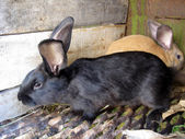 Black and brown big nice rabbits — Stock Photo