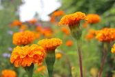 Beautiful flower of tagetes — Stock Photo