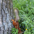 Squirrel in the green bushes in the park — Stock fotografie