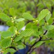Branch of alder in the spring — Stock Photo