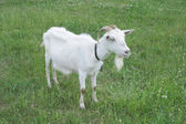 Goat standing on the pasture — Stock Photo