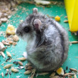 Small grey and nice hamster — Stock Photo